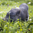 Foto Stock: Black piggy
