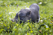 Black piggy — Stock Photo