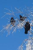 Crow — Stok fotoğraf