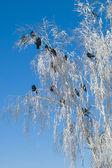 Crow — ストック写真