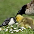 Goose chick and mother — Stock Photo