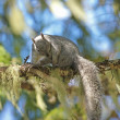 Stock Photo: Grey squirrel on limb