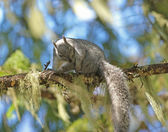 Grey squirrel on limb — Stock Photo