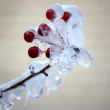 Rowan twig frozen. — Stock Photo