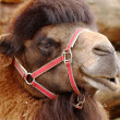 Stock Photo: Camel.
