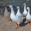 Stock Photo: Geese.