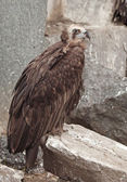 Griffon Vulture. — Stock Photo