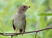 Nightingale. — Stock Photo