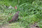 Nightingale. — Stock fotografie