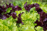 Close up of Hydroponic Plantation in the farm — Stock Photo