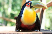 Green-billed (Red-breasted) toucan on sidewalk — Stock Photo