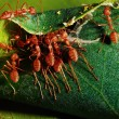 Red ant teamwork in green nature — Stock Photo