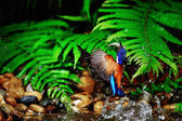 Catching fish, Blue-eared Kingfisher (male) in Thailand — Stock Photo