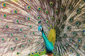 Beautiful Green Peafowl (male) with colorful tail fully open — Stock Photo
