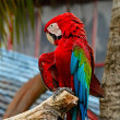 Stock Photo: Greenwinged Macaw