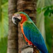 Stock Photo: Harlequin Macaw
