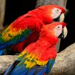 Scarlet Macaw — Photo #40264981