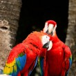 Scarlet Macaw — Photo #40265011