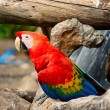 Scarlet Macaw — Stock Photo #40265027