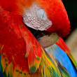Scarlet Macaw — Photo #40265039