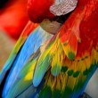 Scarlet Macaw — Photo #40265099