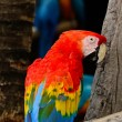 Scarlet Macaw — Photo #40265227