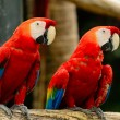 Scarlet Macaw — Photo #40265245