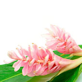 Ginger flower — Stock Photo