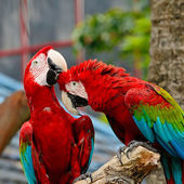 Greenwinged ара — Стоковое фото