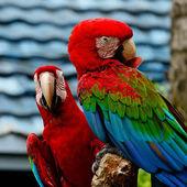 Greenwinged Macaw — Stock Photo