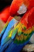 Scarlet Macaw — Stockfoto