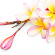 Orange Plumeria — Stock Photo #40274079