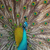 Green Peafowl — Foto Stock
