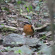 Stock Photo: Eared Pitta
