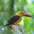 Stock Photo: Male Brown-winged Kingfisher