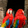 Scarlet macaw — Photo #40702935