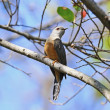 Plaintive cuckoo — Stock Photo #40702957