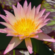 Stock Photo: Waterlily
