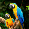 Stock Photo: Blue and gold macaw