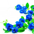 Stock Photo: Butterfly Pea