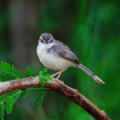Stock Photo: Plain prinia