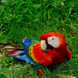 Scarlet Macaw — Photo #40704073