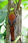 Male Orange-breasted Trogon — Stock Photo