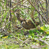Greater Painted-snipe — Stock Photo