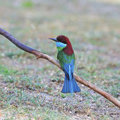 Blue-throated Bee-eater — Stock Photo