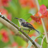 Juvenile male Black-throated Sunbird — Zdjęcie stockowe