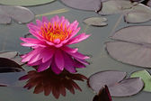 Waterlily — Stock fotografie