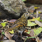 Scaly thrush — Stock Photo