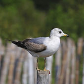 Mew Gull — Stock Photo