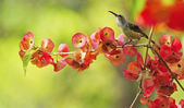 Juvenile male Black-throated Sunbird — Стоковое фото